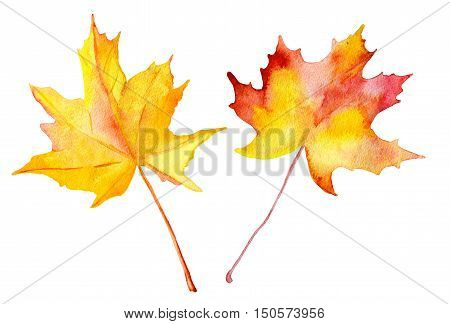 Watercolor autumn maple leaves. Hand painted realistic illustration. Vintage design two maple leaves on white background.