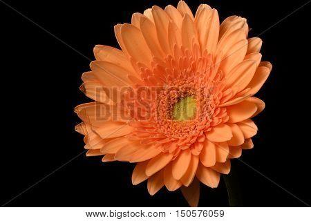 Orange, Flower, Black background, well-lit, Gerbera, close-up
