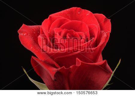 Red, Flower, Black background, well-lit, Rose, close-up