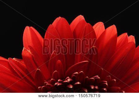 Red, Flower, Black, background, back-lit, Gerbera, close-up, centered