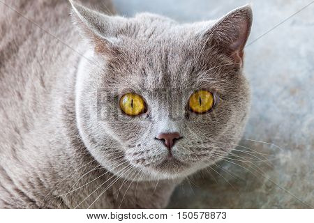 Shocked cat. Cat finding out there will be no food today. British shorthair cat with yellow eyes.