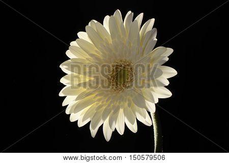White, Flower, Black, background, back-lit, Gerbera, close-up, centered