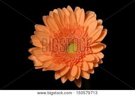 Orange Flower Black background well-lit Gerbera close-up Centered