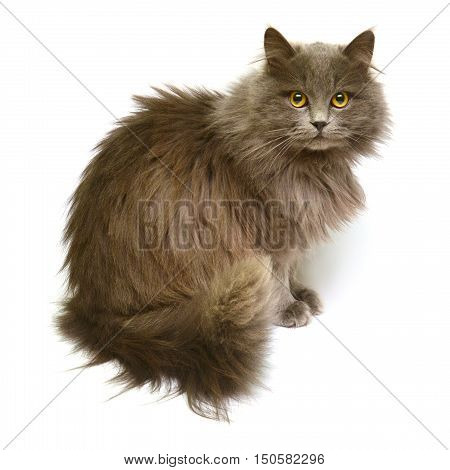 Beautiful fluffy British cat isolated on white background