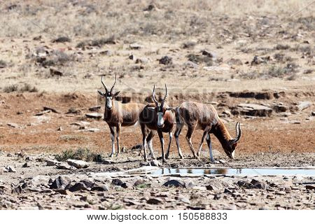Blesbok - Meeting Up For A Drink At The Dam