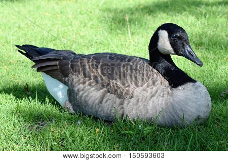 Photograph of a Canadian goose sitting on the grass.