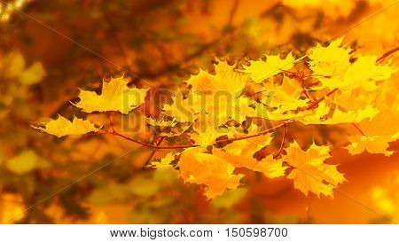 Yellow maple branch on fall background . Fall leaves background.