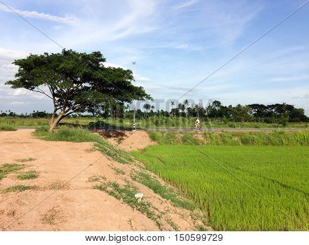 Green Cornfield in the countryside of Thailand.