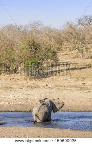 african bush elephant backside in the riverbank, Kruger