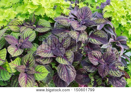 Looking down at olorful purple and green coleus plants.