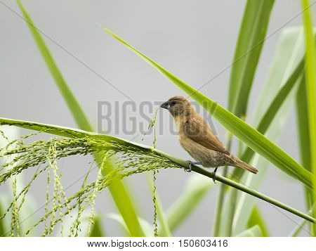 Image of ricebird perched on a green leaf.