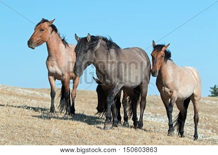 Band of Wild Horses grouped together on Sykes Ridge in the Pryor Mountains Wild Horse Range in Montana USA