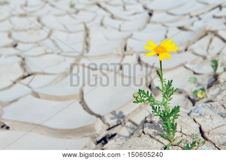 Yellow daisy flower growing through brown dried soil with a single yellow flower