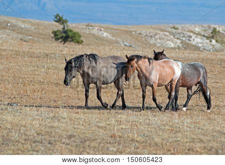Band of Wild Horses walking past Sykes Ridge above Teacup Bowl in the Pryor Mountains Wild Horse Range in Montana - Wyoming USA