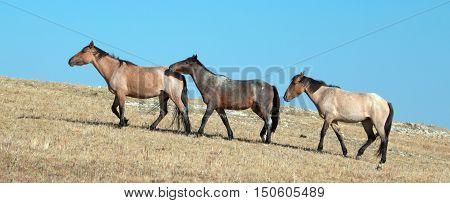 Band of Wild Horses walking on Sykes Ridge in the Pryor Mountains Wild Horse Range in Montana - Wyoming USA