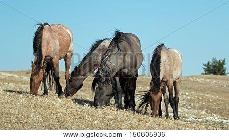Band of Wild Horses grazing on Sykes Ridge in the Pryor Mountains Wild Horse Range in Montana - Wyoming United States