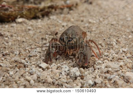 animals, crustaceans, crayfish, crayfish, summer, Astacidae, decapod, crayfish, true crabs