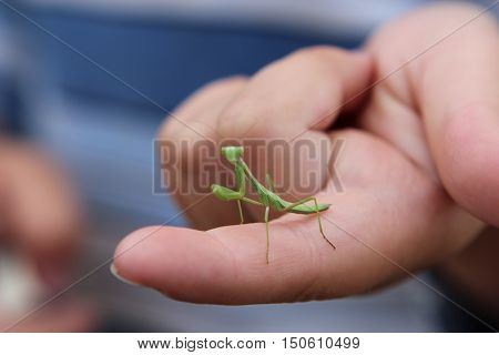 insects, animals, praying mantis, summer, a real praying mantis, predator, predatory insect green praying mantis, mantis is religious