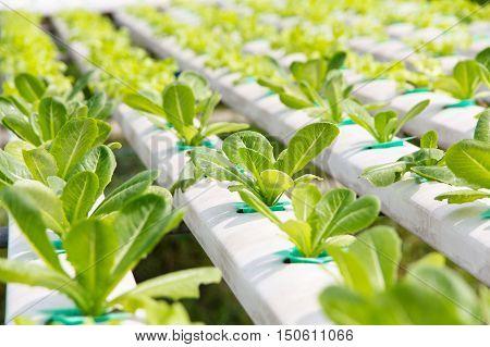 Hydroponics vegetable farm,close up of Lettuce Crop Lactuca Leaf Vegetable