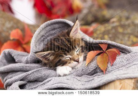 little  kitten is sleeping in soft blanket on wooden floor