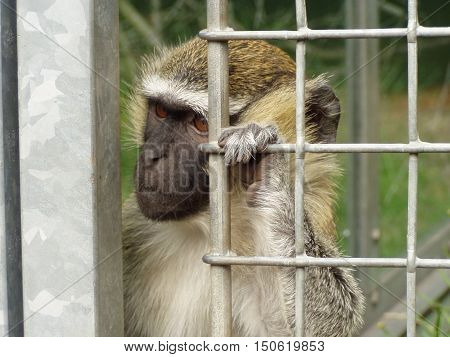 Capuchin monkey are waiting for his master