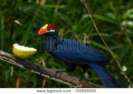 Violet turaco eating a juicy guava fruit, scientific name Musophaga violacea