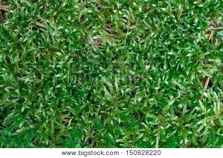 Woodland Ground Green Chunky Pilose Moss Background
