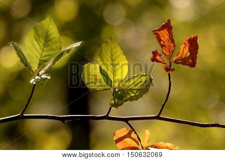 Four backlit autumn sycamore leaves on a branch