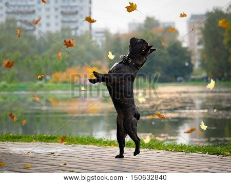 Funny dog stands on its hind legs. City park autumn pond. Leaf fall autumn leaves