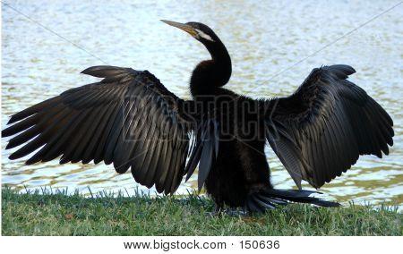 Animals - Cormorant