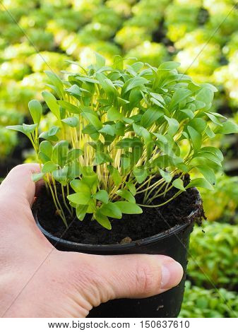 Fresh marjoram herbs growing in pot held in hand above other plants