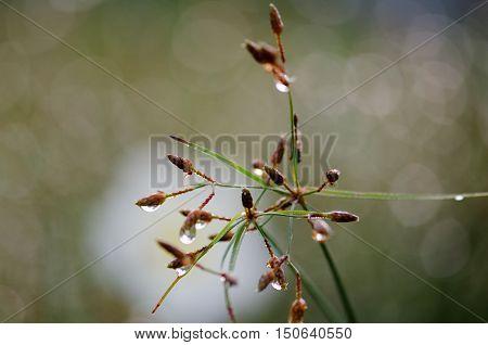 Flowers dew meadow Plumeria flower in the dew meadow.