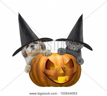 Cute cat and dog in a costume with halloweens pumpkin -- isolated on white