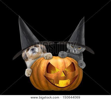 Cute cat and dog in a costume with halloweens pumpkin -- isolated on black