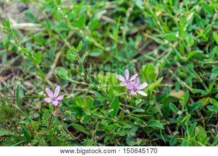 Closeup of a pink blossoming common stork's-bill or Erodium cicutarium plant in its own natural habitat in a Dutch nature area.