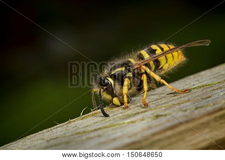 A wasp worker collecting wood for nesting material