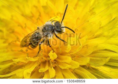 A male Andrena Mining Bee on a dandelion flower.