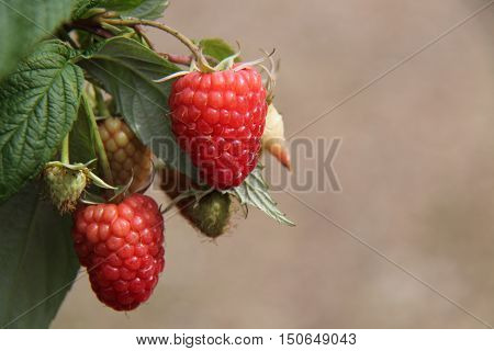 Two Fresh Fruit Red Raspberries Ready for Harvesting.