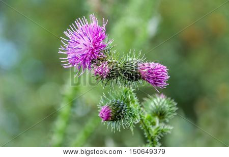 Closeup of a dark pink blossoming and budding welted thistle or Carduus crispus plant against its blurred own natural background on a sunny day in the summer season.