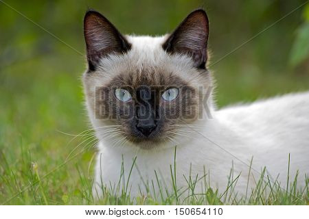 Head of Siamese Cat resting in grass portrait