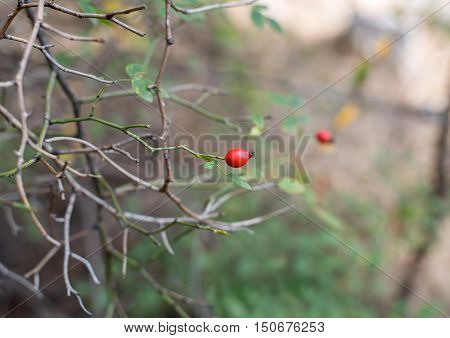 rosehip berries ripened in the sun is ready for collection