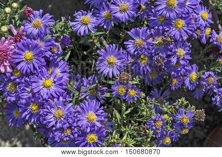 Bluish Aster on the market in anticipation of buyers flowers.