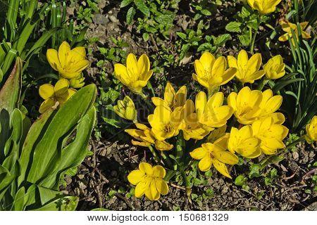 A beautiful bouquet of yellow saffron in autumn garden.