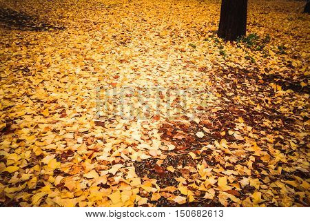 Fallen autumn leaves in the parkLeaves fall to the ground background.