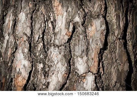 Closeup of the pine tree bark - abstract nature background.