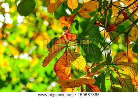 Highlited yellow and green chestnut leaves growing on the tree. Autumn background