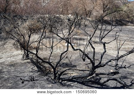 Charcoaled chaparral plants taken at a burnt field caused from a wildfire taken in Cajon, CA