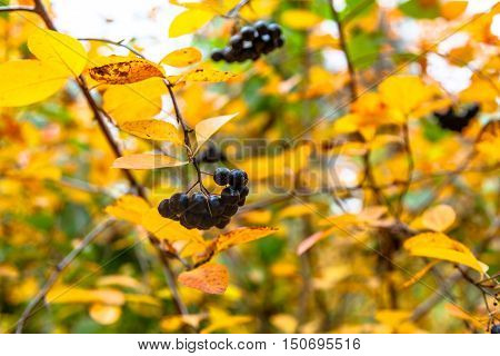 Aronia Berries Hanging On A Branch Among Yellow Leaves.
