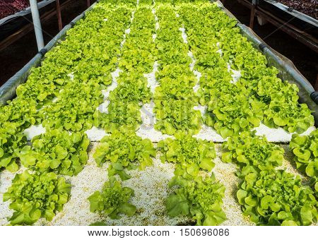 Green hydroponic vegetables plantation system with sunlight.