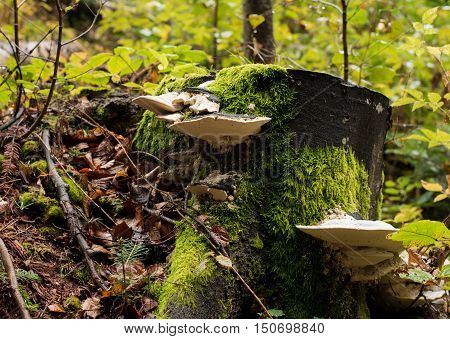 Fomes fomentarius commonly known as the tinder fungus false tinder fungus hoof fungus tinder conk or ice man fungus. (Fomes fomentarius) Tinder conk Fomes fomentarius on a tree trunk
